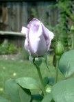 Blue Girl Rosebud